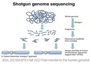 Shotgun genome sequencing