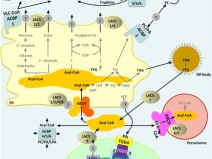 Fatty acids biosynthesis